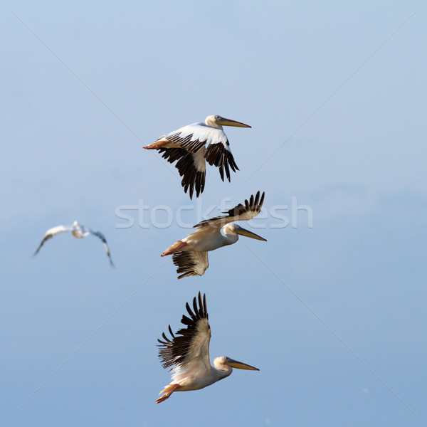 group of pelicans flying over the sky Stock photo © taviphoto