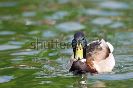 mallard drake swimming on water Stock photo © taviphoto