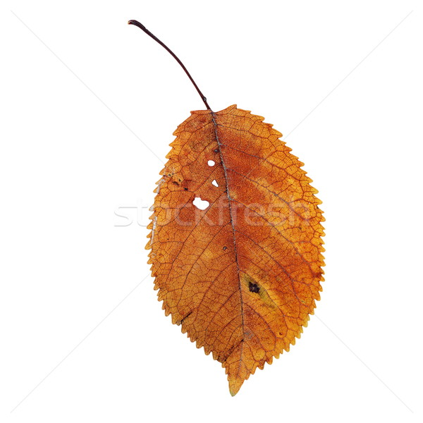 isolation of a beautiful faded cherry leaf Stock photo © taviphoto