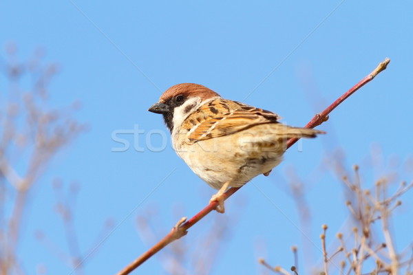 perched male house sparrow Stock photo © taviphoto