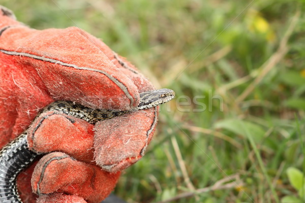 hand with leather glove handling a meadow viper Stock photo © taviphoto