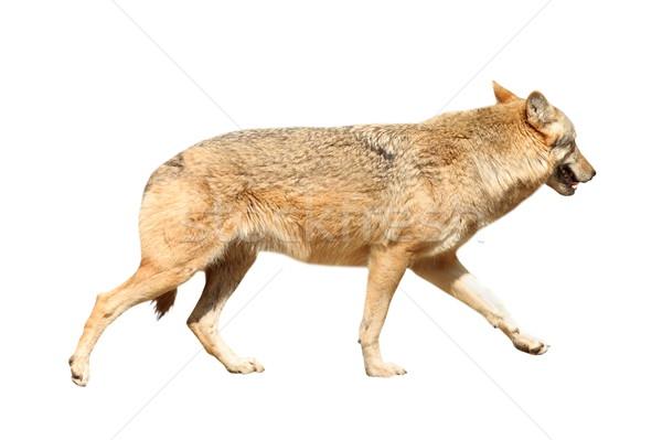 isolated eurasian wolf Stock photo © taviphoto