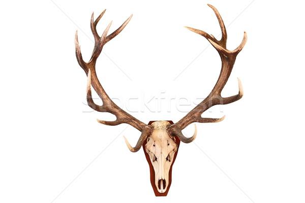 устрашающий красный оленей охота трофей изолированный Сток-фото © taviphoto