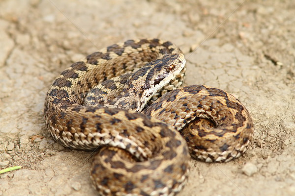 hungarian meadow adder ready to strike Stock photo © taviphoto