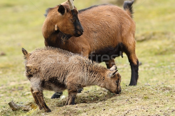 goat family Stock photo © taviphoto