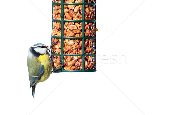 isolated blue tit on garden feeder Stock photo © taviphoto