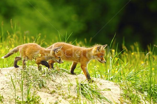 Stock fotó: Nagy · fivér · róka · piros · sétál · kicsi