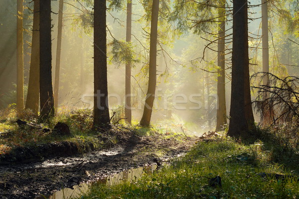 Stock photo: beautiful morning light in spruce forest