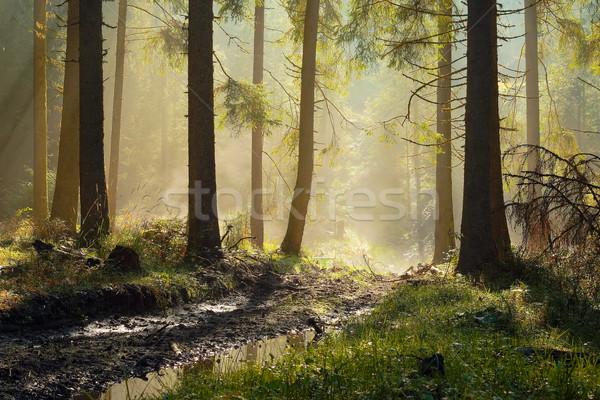 Photo stock: Belle · matin · lumière · épinette · forêt