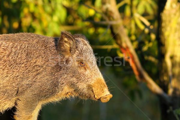 close up of wild boar Stock photo © taviphoto