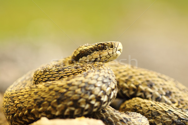elusive meadow viper Stock photo © taviphoto