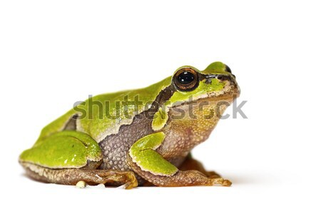Hyla arborea on white background Stock photo © taviphoto
