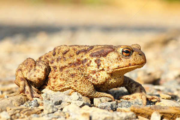 european common brown toad on the ground Stock photo © taviphoto