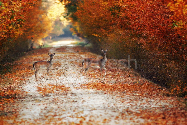 fallow deer does on rural road in autumn Stock photo © taviphoto