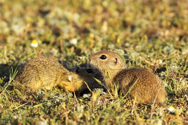 ground squirrels brothers  Stock photo © taviphoto
