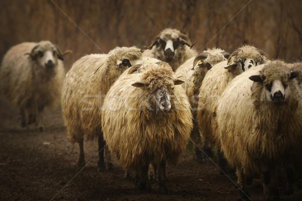 Huiselijk schapen kudde landelijk weg gras Stockfoto © taviphoto