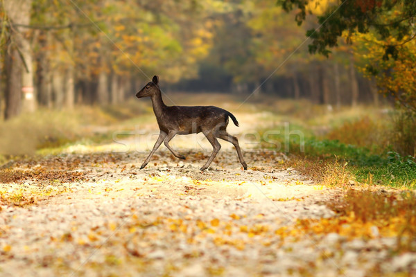 fallow deer hind passing road in the woods Stock photo © taviphoto