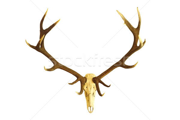 huge red deer buck skull Stock photo © taviphoto
