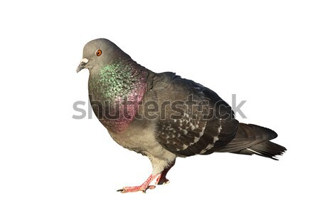 isolated feral pigeon Stock photo © taviphoto