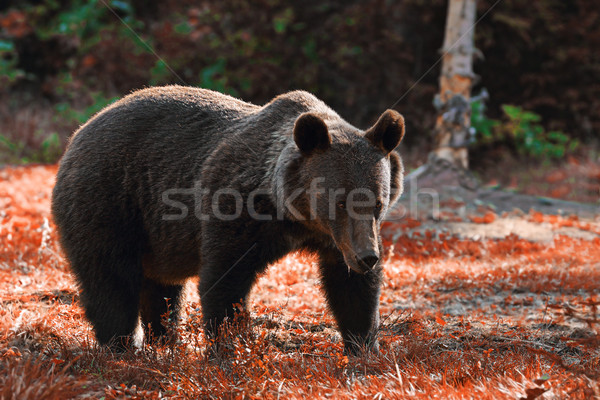 huge brown bear in the wild Stock photo © taviphoto