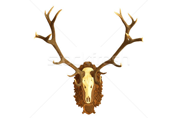 large hunting trophy of red deer stag Stock photo © taviphoto