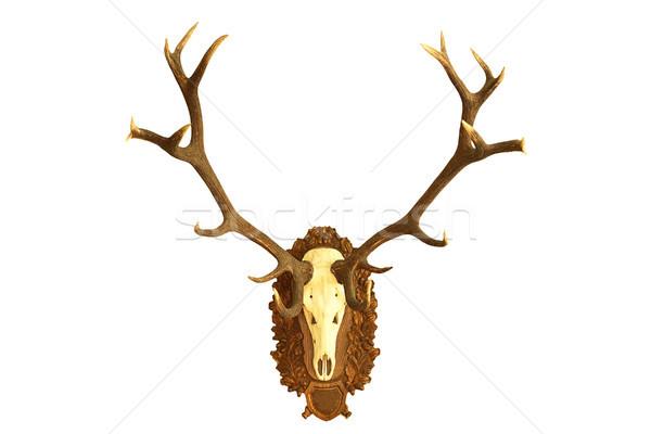 狩猟 トロフィー 赤 鹿 孤立した ストックフォト © taviphoto