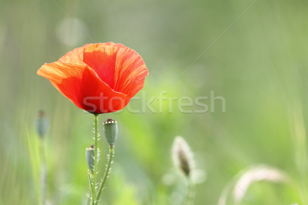 detail of a red poppy in bloom Stock photo © taviphoto