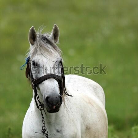 Portré fehér ló gyönyörű zöld legelő természet Stock fotó © taviphoto