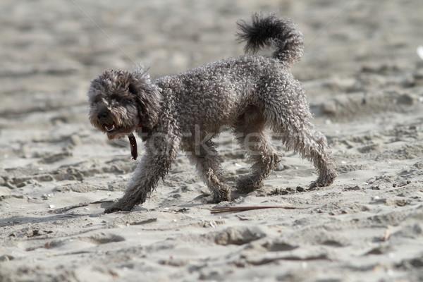 Poedel strand grijs lopen zand gezicht Stockfoto © taviphoto