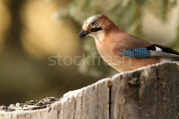 common jay garrulus glandarius Stock photo © taviphoto