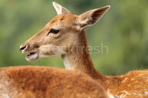 profile of a fallow deer doe Stock photo © taviphoto