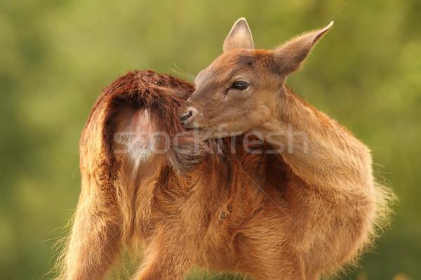 Stock photo: female fallow deer scratching
