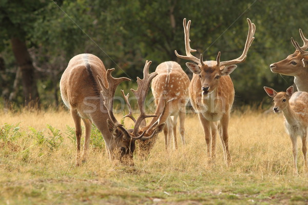 fallow deer herd in a clearing Stock photo © taviphoto