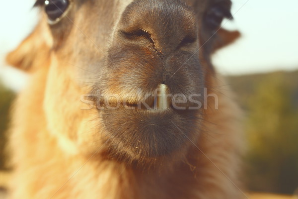 closeup of llama teeth Stock photo © taviphoto