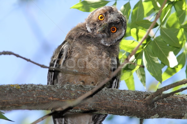 funny owl on branch Stock photo © taviphoto