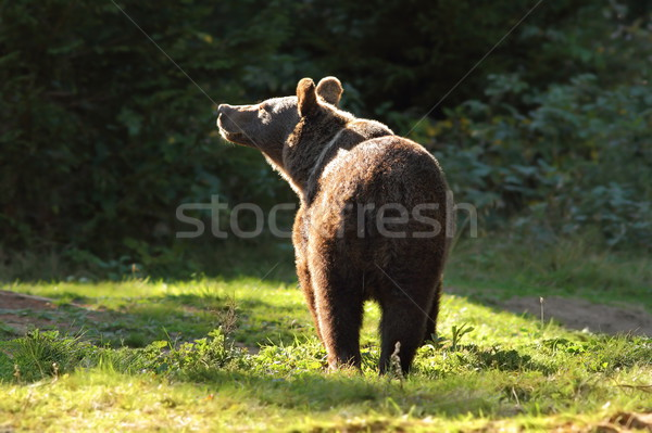 wild brown bear in the carpathians Stock photo © taviphoto