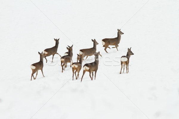 Stock photo: herd of deers on snow