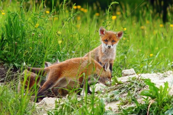 Piękna Fox młodzież gry wiosną trawy Zdjęcia stock © taviphoto