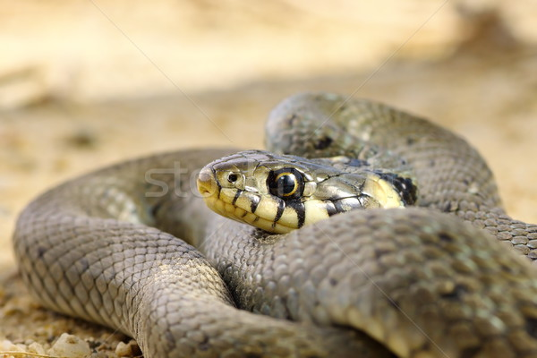 close up of grass snake Stock photo © taviphoto