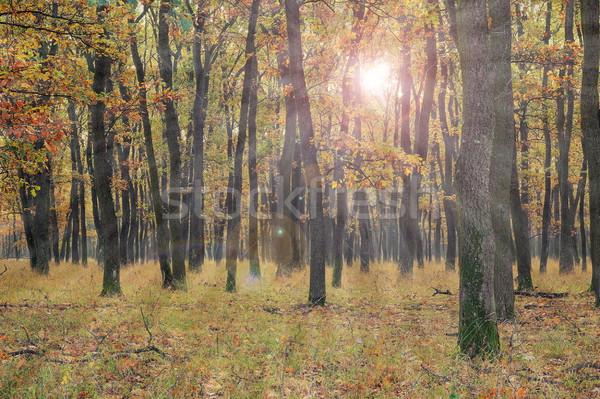 太陽 光 小さな オーク 森林 午前 ストックフォト © taviphoto