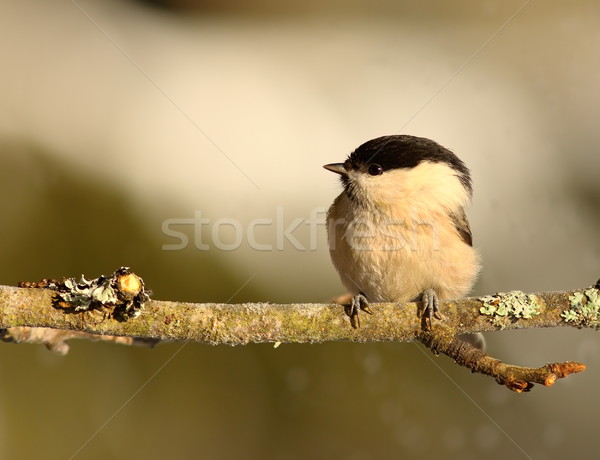 tiny coal tit on branch Stock photo © taviphoto