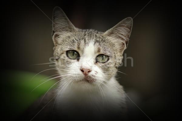 Belo curioso gatinho retrato olhando câmera Foto stock © taviphoto
