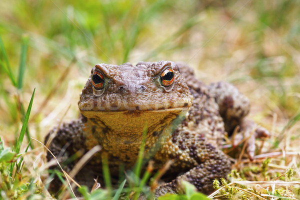 closeup of common brown toad in the grass Stock photo © taviphoto