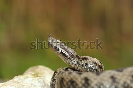 dangerous snake ready to attack Stock photo © taviphoto