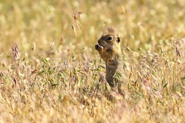 european ground squirrel in natural habitat Stock photo © taviphoto