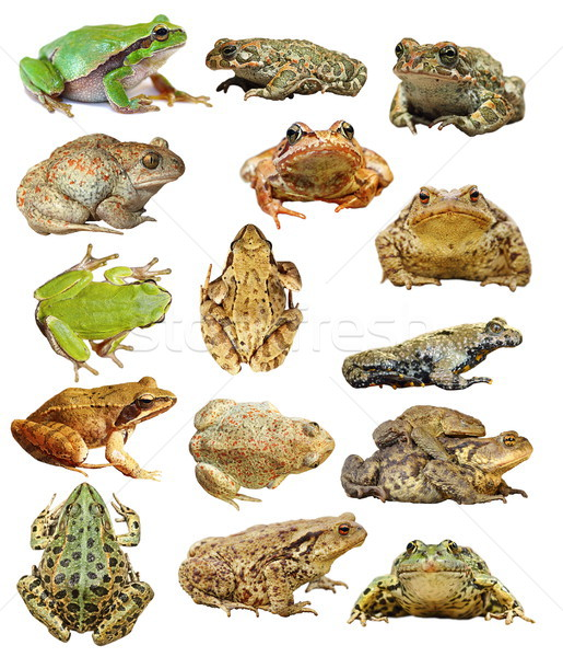 large collection of isolated frogs and toads Stock photo © taviphoto