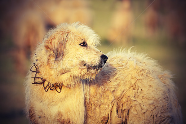 Roumain moutons chien de chasse blanche image Photo stock © taviphoto