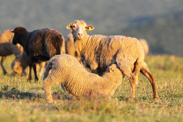 sheep feeding her youngster Stock photo © taviphoto