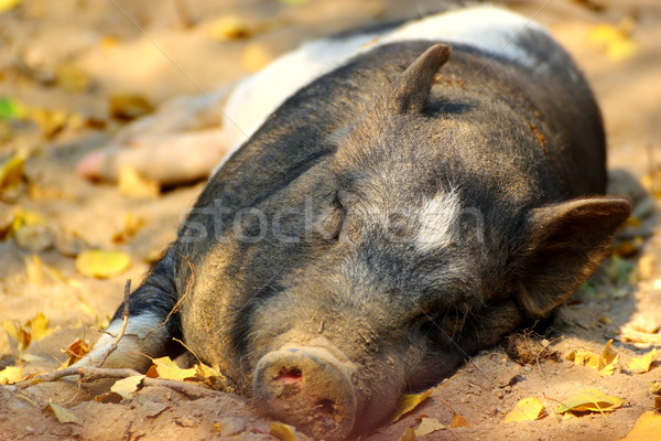 pig laying on the ground Stock photo © taviphoto
