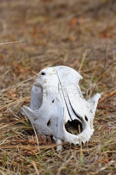 dog skul in the grass Stock photo © taviphoto